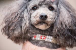 耳に関する犬の病気の症状・治療方法・予防方法を紹介