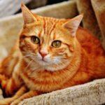 多くの猫が感染しているFIP(猫伝染性腹膜炎)